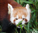 Red panda not the communist
