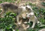 Arctic fox: mother love? Heh?