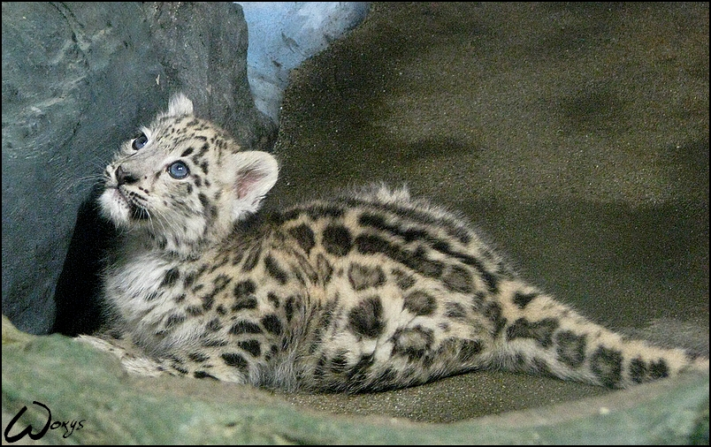 Snow leopard, sweet baby by woxys