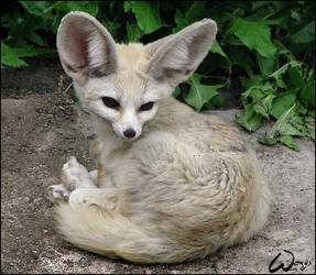 Fennec fox: NoLove for Cobra11