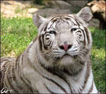 White Bengal tiger beauty...