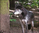 Black timber wolf, no Blackie.
