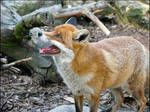 Red fox can laugh