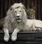 White lion king, silent queen