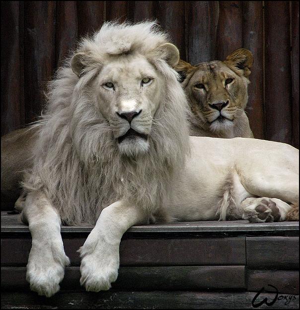 White lion king, silent queen
