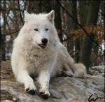 Arctic wolf: tongue shot