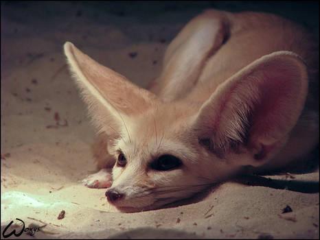 Fennec fox: In love...? Him?