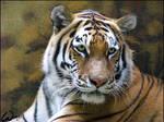Amur tiger: striped lady
