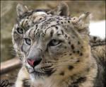 Snow leopards: a double