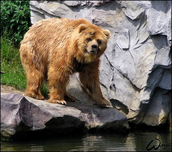 Kodiak bear is a big Teddy by woxys