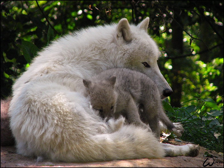 dad and baby arctic wolf love by woxys on deviantart. Black Bedroom Furniture Sets. Home Design Ideas