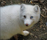 Arctic fox: behind blue eye