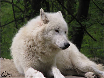 Arctic wolf: friendly smile... by woxys