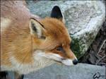 Red fox: ginger girl