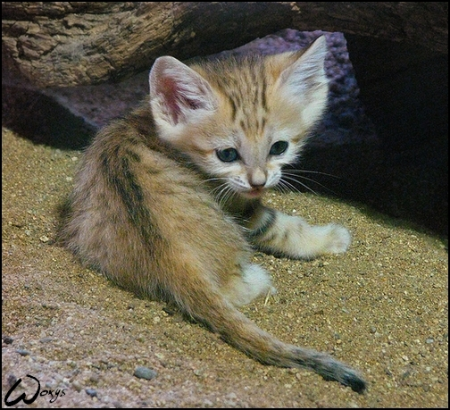 Baby Sand Cat Can You Resist By Woxys On Deviantart