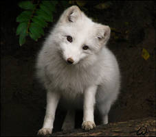 Arctic fox, casting for Disney