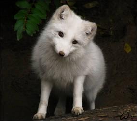 Arctic fox, casting for Disney