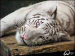 Baby tiger and big blue eyes