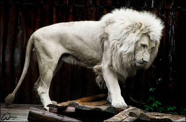 White lion and broken pons