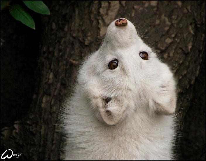 Картинки белая лиса