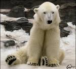 Tom, the polar bear
