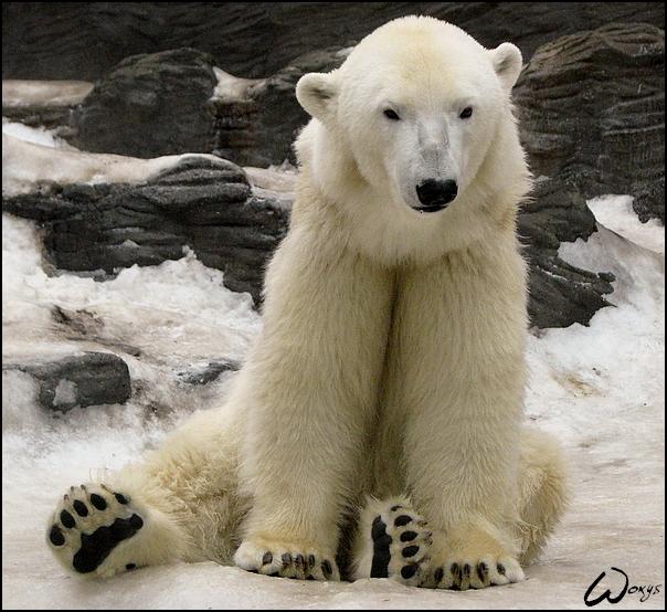 The gallery for --> Mad Polar Bear Cartoon