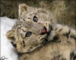 Baby snow leopard: spoil me