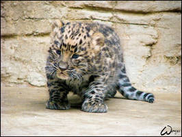 Amur leopard - baby miracle... by woxys