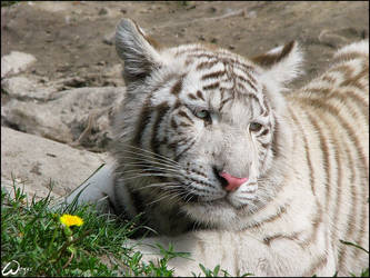 Baby white tiger and a flower by woxys