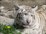 Baby white tiger and a flower