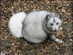 The fattest fox ever