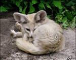 Kinked fennec fox