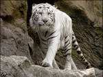 White tiger: bib is needed