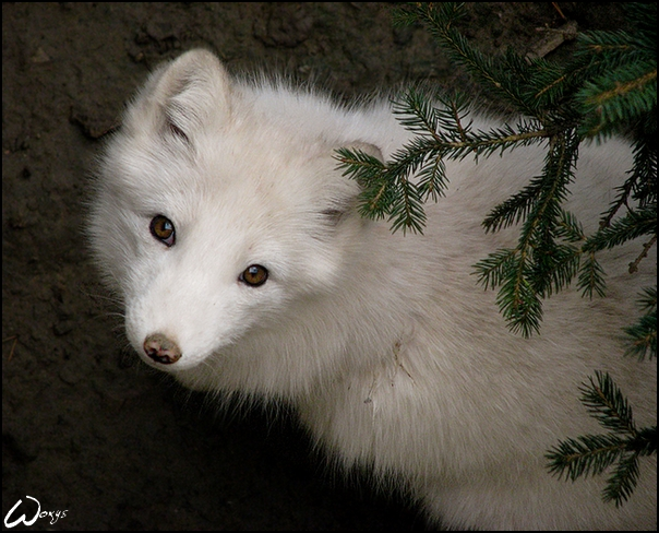 Fluffy and curious baby fox by woxys on DeviantArt - photo#11