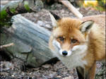 Red Fox: agent's face