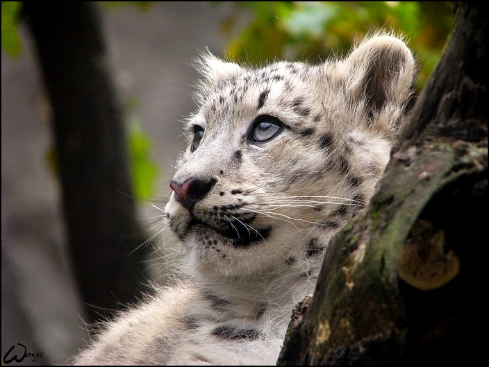 Baby White Snow Leopard Dreaming Baby Snow Leopard by