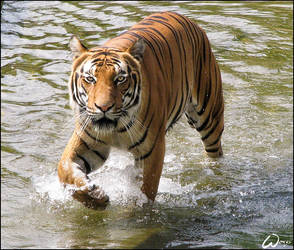 Tiger and the wave