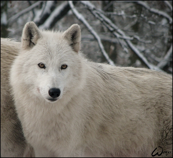 Cute white wolf pup with blue eyes - photo#4