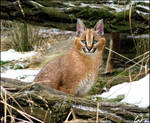 Smiling baby caracal