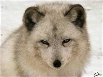 Face the dangerous evil fox by woxys