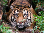 Sumatran tiger: amber eyes...