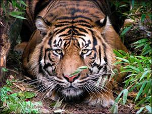 Sumatran tiger: amber eyes...