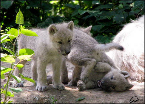 Playing wolf puppies by woxys