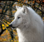 Arctic wolf Atila and his gold