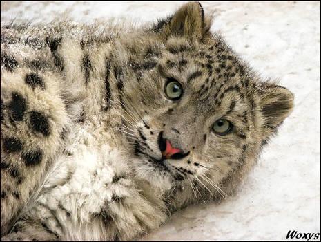 Baby snow leopard: super model