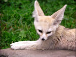 Daylight suits to fennec fox