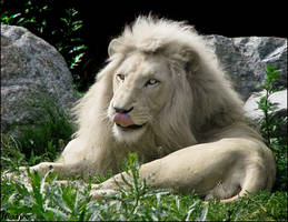 White lion. An illusion...? by woxys