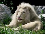 White lion. An illusion...?