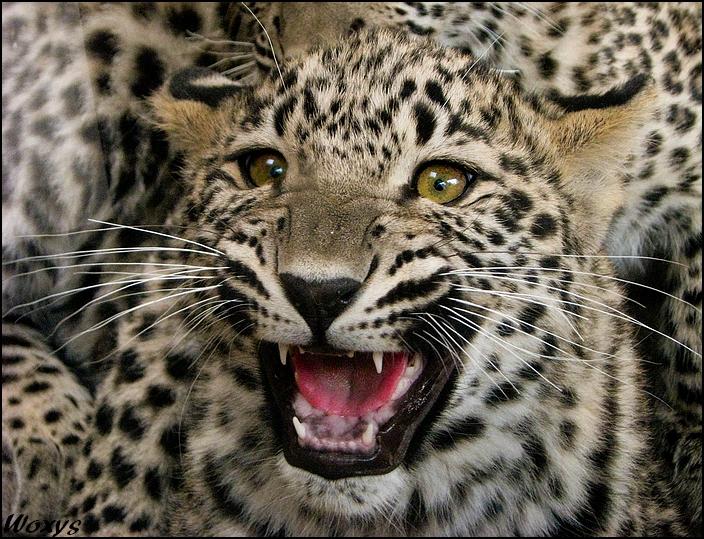 angry baby cheetah -#main