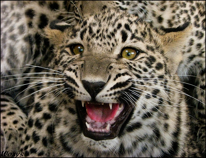 Baby leopard - a bit angry